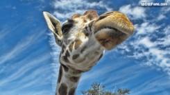 Busch Gardens Giraffe Wallpaper